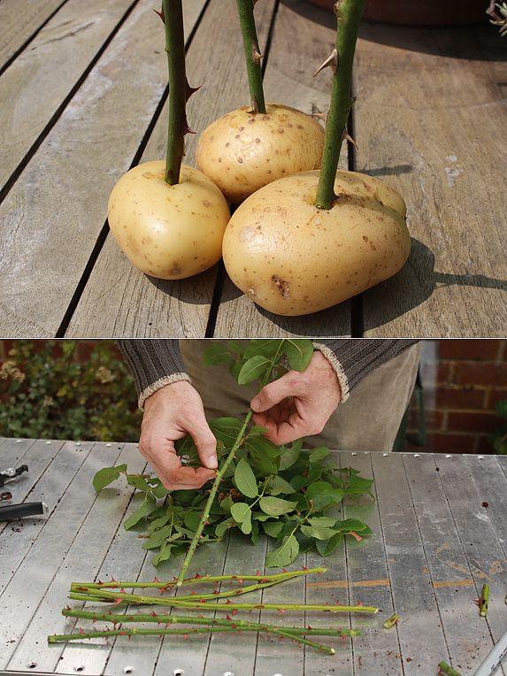 Как вырастить розы из черенков в картошке домашних условиях