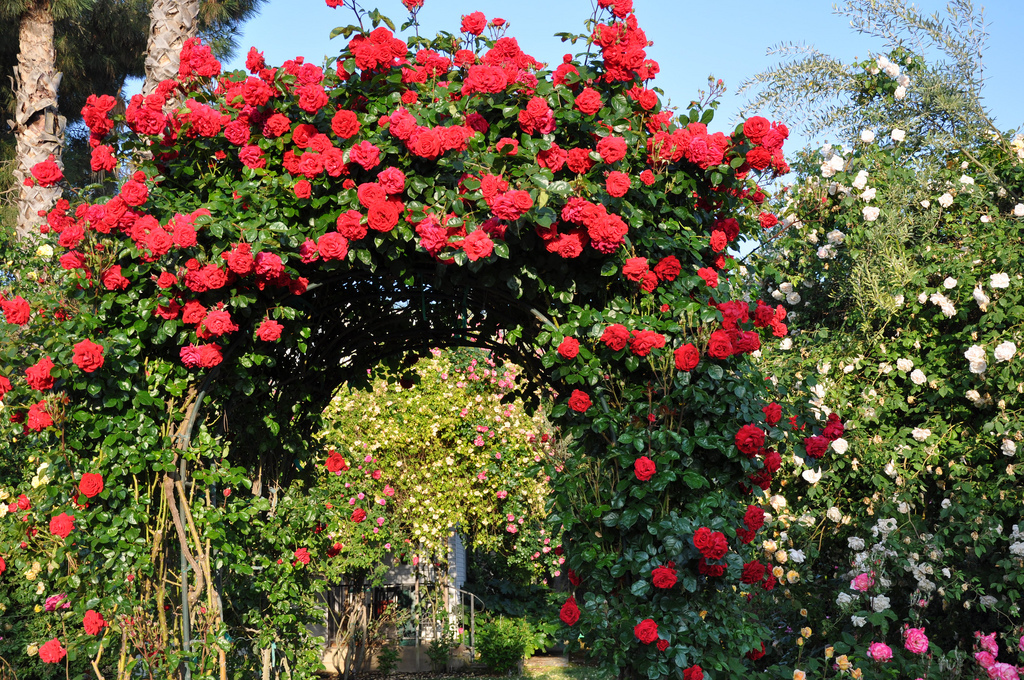 red-rose-arch
