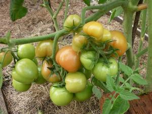 kak-rastut-tomaty-sorta-sanka