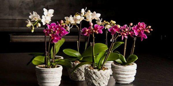 орхидеи в горшках 2